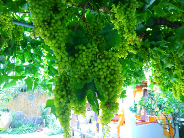 …And I'll kiss the vine twig and gather sweet grapes, my reward