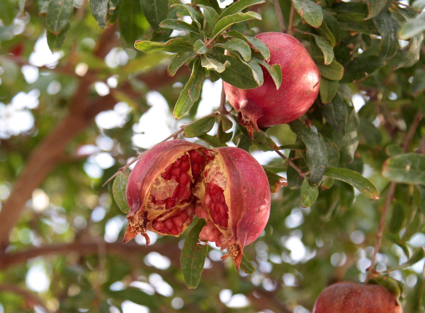 Eternity Hidden In Red Arils Of Pomegranate Thenewcrete