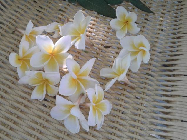 Plumeria Frangipani or a Temple Flower