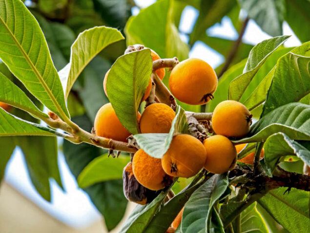 Medlar, a fresh and pleasant fruit